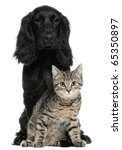 Stock photo cocker spaniel and european cat and years old sitting in front of white background 65350897