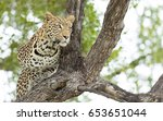young male african leopard in a ...   Shutterstock . vector #653651044