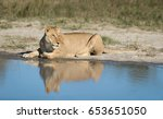 female african lion lying next...   Shutterstock . vector #653651050