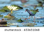 Small photo of Allen's Gallinule, Chobe River, Botswana Porphyrio alleni