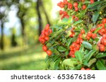 Red Berries Of Firethorn Plant...
