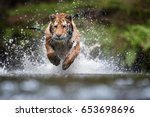 Stock photo siberian tiger panthera tigris altaica low angle photo in direct view running in the water 653698696