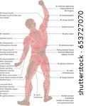 human muscular system from the... | Shutterstock .eps vector #653727070
