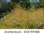 Small photo of Stipa gigantea giant feather grass