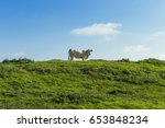 Cows Grazing On Grassy Green...