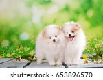 Stock photo pomeranian puppy white and cream color at summer green outdoor background 653896570