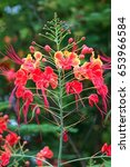 Small photo of Caesalpinia pulcherrima is a species of flowering plant in the pea family, Fabaceae, native to the tropics and subtropics of the Americas