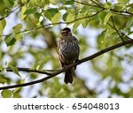 sparrow  passeridae  perched on ... | Shutterstock . vector #654048013