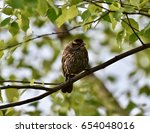 sparrow  passeridae  perched on ... | Shutterstock . vector #654048016