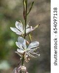 Small photo of white flowers of gaura