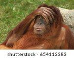 portrait of wild brown red...   Shutterstock . vector #654113383