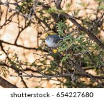 Small photo of Blue Grey Gnatcatcher perched in a yellow tree in a cactus landscape in Mexico. These birds flit in and out of these trees looking for insects.