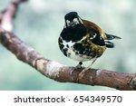 Small photo of Chestnut-backed Thrush (Geokichla dohertyi). Barcelona Zoo, Barcelona, Spain.