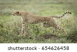 female adult cheetah stretching ... | Shutterstock . vector #654626458