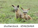 two sub adult bat eared foxes... | Shutterstock . vector #654626464