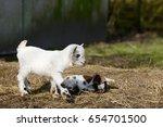 white goat kid standing and... | Shutterstock . vector #654701500