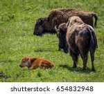 Small photo of Bison Calf with Mother