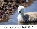 Cygnet Swimming In The Water