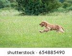 Stock photo golden cocker spaniel puppy runs on field 654885490