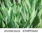 Green Leaves Of Tulips