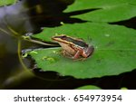 green paddy frog on water lily...   Shutterstock . vector #654973954
