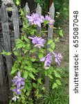 Small photo of Flowering clematis bush Proteus.