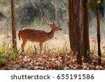 Beautiful Axis Deer In The...