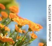 delicate orange marigold... | Shutterstock . vector #655191976