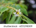 flacourtia rukam flower tree...   Shutterstock . vector #655198309