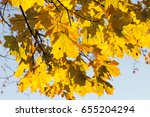 yellowed maple leaves in... | Shutterstock . vector #655204294