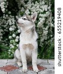 Small photo of Siberian husky puppy sitting in blooming spring garden.Domestic wolfling cub with long silver fur coat.Beautiful little purebred hunter dog.Alaskan canine breed