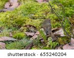 Small photo of Brown thornbill, small brown gray passerine bird on forest ground covered with moss in Tasmania, Australia (Acanthiza pusilla)