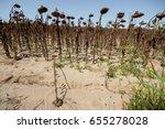 Dried Sunflowers. Ripened...