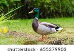 mallard duck in nature... | Shutterstock . vector #655279903