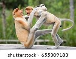 Labuk Bay Proboscis Monkey Are...