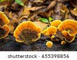 Ganoderma Mushroom Growing On...