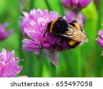 Large Fluffy Bumblebee Closeup...
