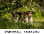 Three Sitting Border Collie...