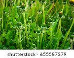 background with dandelions... | Shutterstock . vector #655587379