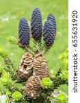 Small photo of Purple pine cones, Abies Koreanum in the sun