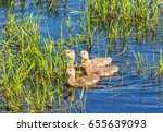 Four Goslings  Canada Geese  ...
