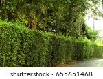 select focus on green hedge as... | Shutterstock . vector #655651468
