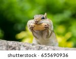 Chipmunk Is Stuffing Food Into...