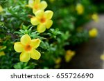 Small photo of Yellow Allamanda flower in the background