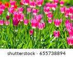 spring flowers  tulips of... | Shutterstock . vector #655738894