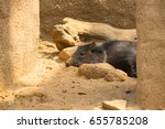 peccary resting in the shade. | Shutterstock . vector #655785208