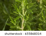 Small photo of Small detail of rosemary plant: a plant used in the kitchen as amiable spice.