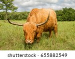 Scottish Highland Cow In A...