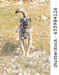 Turkish Anatolian Shepherd Dog...