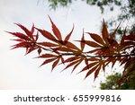 japanese maple leaf tree  close ... | Shutterstock . vector #655999816